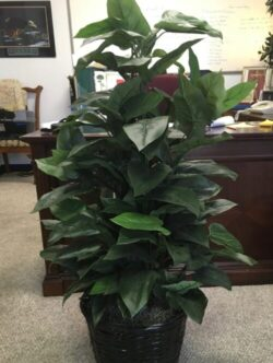 Philodendron Plant