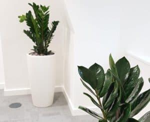 Zamioculcas zamiifolia (zz faux plant)