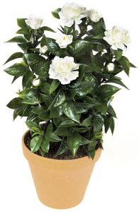 "24"" Outdoor Gardenia Bush"