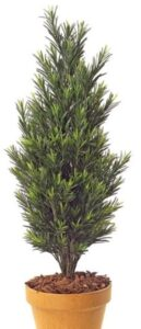 Outdoor Podocarpus topiary